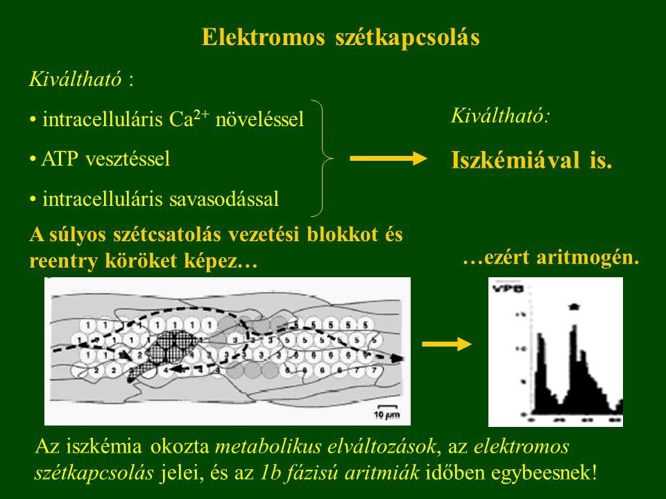 Elektromos szétkapcsolás Kiváltható : intracelluláris Ca 2+ növeléssel ATP vesztéssel intracelluláris savasodással Kiváltható: Iszkémiával is.