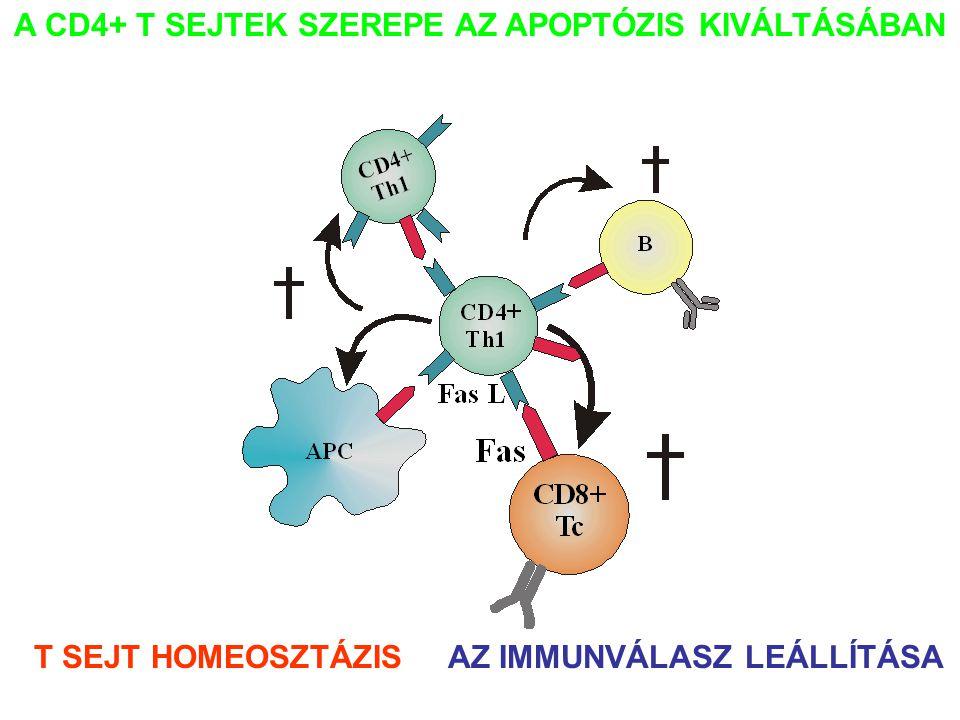A CD4+ T SEJTEK SZEREPE AZ APOPTÓZIS KIVÁLTÁSÁBAN T SEJT HOMEOSZTÁZISAZ IMMUNVÁLASZ LEÁLLÍTÁSA