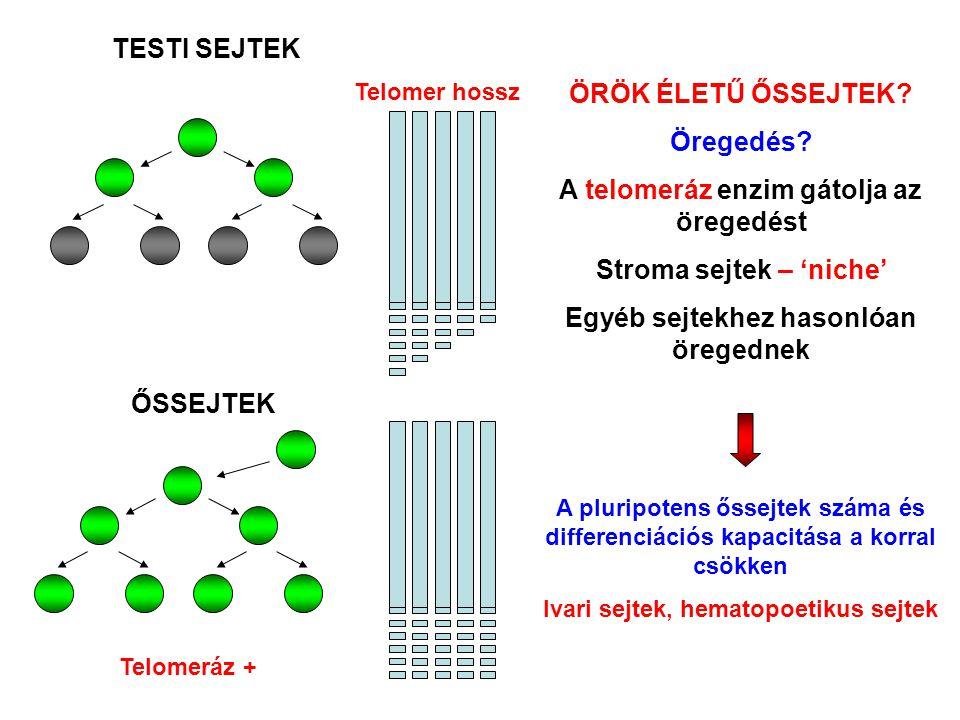 TESTI SEJTEK ŐSSEJTEK Telomeráz + ÖRÖK ÉLETŰ ŐSSEJTEK? Öregedés? A telomeráz enzim gátolja az öregedést Stroma sejtek – 'niche' Egyéb sejtekhez hasonl