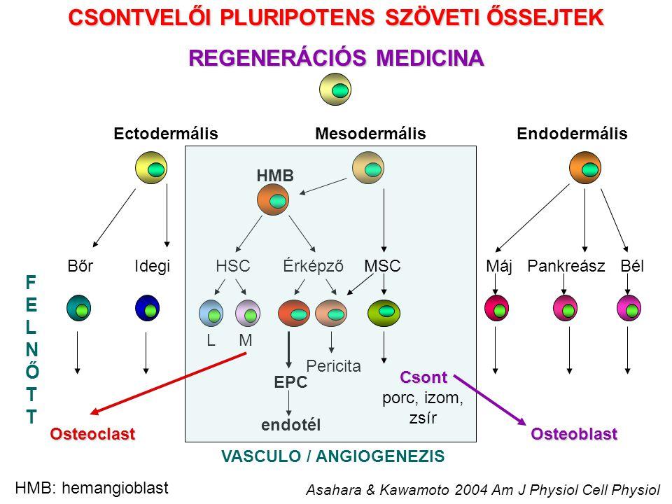 HSC 7 – 8000 sejt/nap önmegújító képesség aszimmetrikus osztódás Érképző rendszer folyamatos utánpótlása Érképző rendszer folyamatos utánpótlása Perifériás immunsejtek folyamatos képződése Perifériás immunsejtek folyamatos képződése Keringő progenitor sejtek - VÉRÁRAM Keringő progenitor sejtek - VÉRÁRAM Szövet-specifikus progenitor sejtek - SZÖVETEK Szövet-specifikus progenitor sejtek - SZÖVETEK KORLÁTOZOTT SZÖVET – SPECIFIKUS REGENERÁCIÓS KÉPESSÉG Legalább egy differenciált sejt Prekurzor/előalak Vagy több differenciált sejt Prekurzor/előalak Önmegújulás + Asszimmmetrikus osztódás A SZÖVETI ŐSSEJTEK FONTOSSÁGA