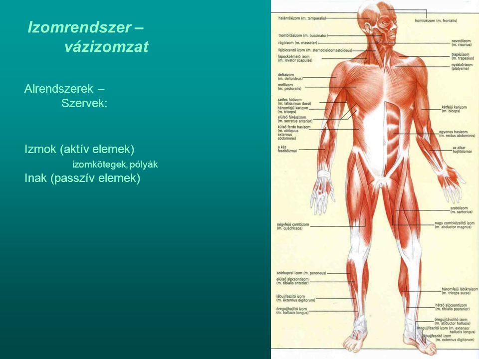 Izomrendszer – vázizomzat Alrendszerek – Szervek: Izmok (aktív elemek) izomkötegek, pólyák Inak (passzív elemek)