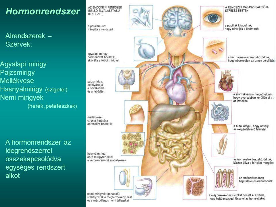 Hormonrendszer Alrendszerek – Szervek: Agyalapi mirigy Pajzsmirigy Mellékvese Hasnyálmirigy (szigetei) Nemi mirigyek (herék, petefészkek) A hormonrend