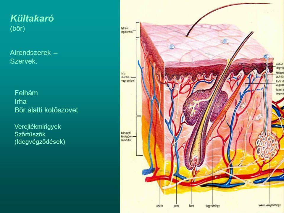 Kültakaró (bőr) Alrendszerek – Szervek: Felhám Irha Bőr alatti kötőszövet Verejtékmirigyek Szőrtüszők (Idegvégződések)