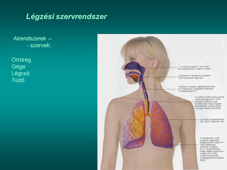 Légzési szervrendszer Alrendszerek – - szervek: Orrüreg Gége Légcső Tüdő