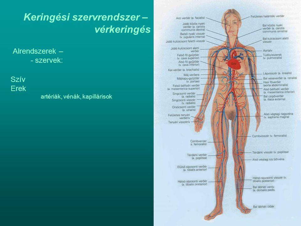Keringési szervrendszer – vérkeringés Alrendszerek – - szervek: Szív Erek artériák, vénák, kapillárisok