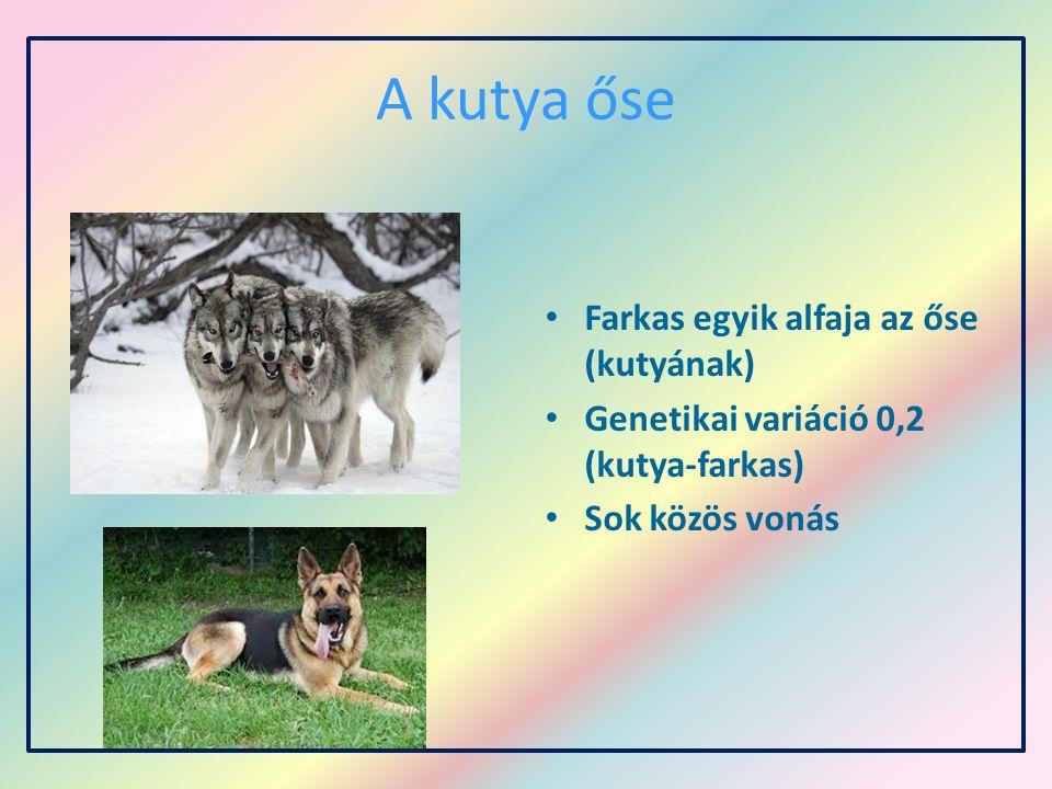 A kutya őse Farkas egyik alfaja az őse (kutyának) Genetikai variáció 0,2 (kutya-farkas) Sok közös vonás