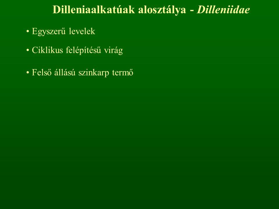 Dilleniaalkatúak alosztálya - Dilleniidae Egyszerű levelek Ciklikus felépítésű virág Felső állású szinkarp termő