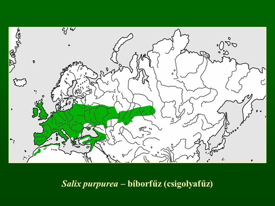 Salix purpurea – bíborfűz (csigolyafűz)