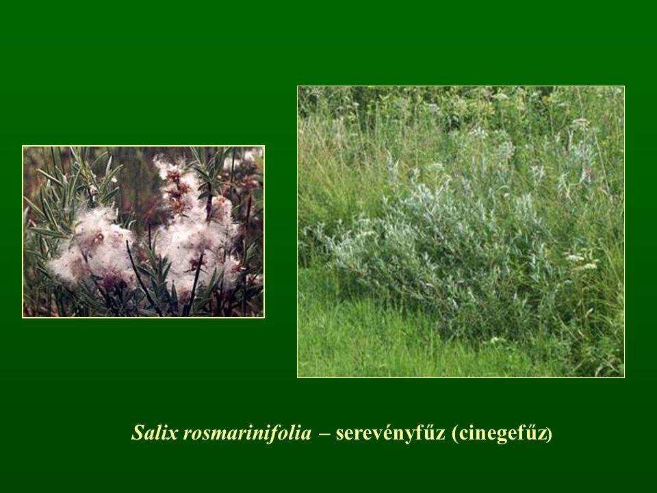 Salix rosmarinifolia – serevényfűz (cinegefűz )