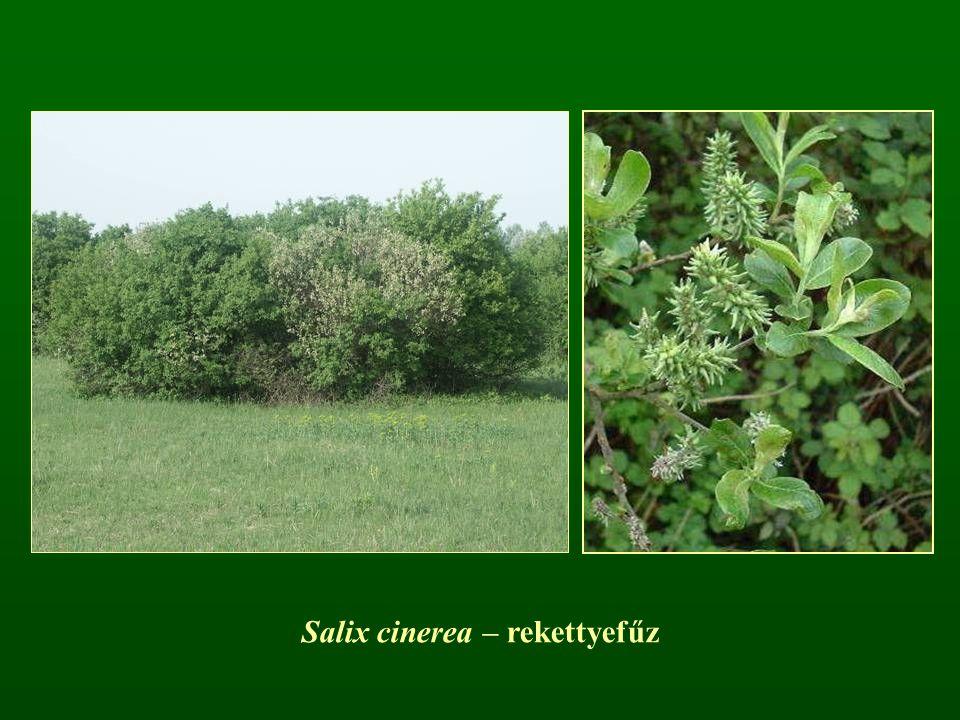 Salix cinerea – rekettyefűz