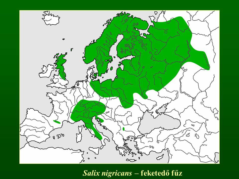 Salix nigricans – feketedő fűz