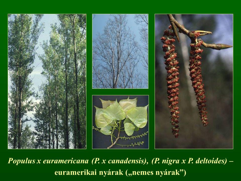 "Populus x euramericana (P. x canadensis), (P. nigra x P. deltoides) – euramerikai nyárak (""nemes nyárak"")"
