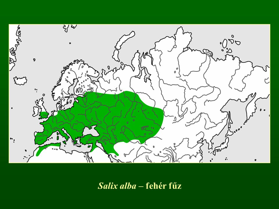 Salix elaeagnos (S. incana) – parti fűz