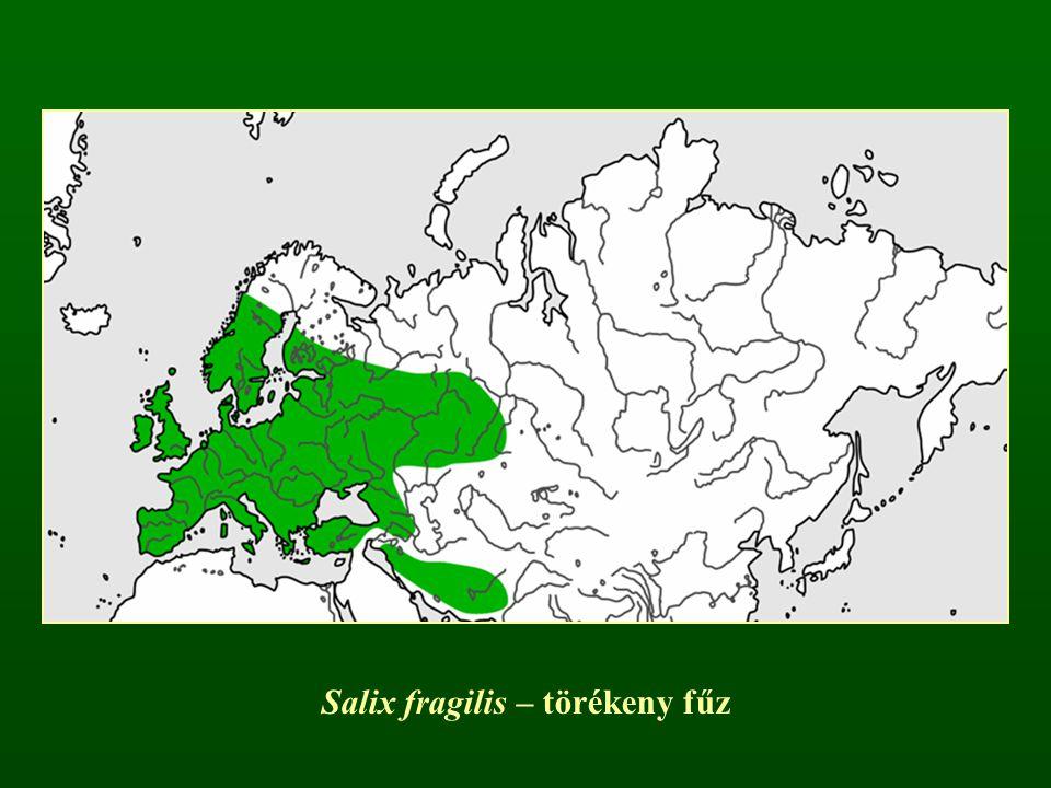 Salix reticulata – recéslevelű fűz