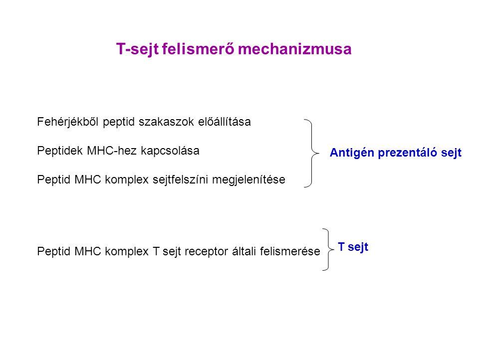T-sejt felismerő mechanizmusa Fehérjékből peptid szakaszok előállítása Peptidek MHC-hez kapcsolása Peptid MHC komplex sejtfelszíni megjelenítése Peptid MHC komplex T sejt receptor általi felismerése Antigén prezentáló sejt T sejt