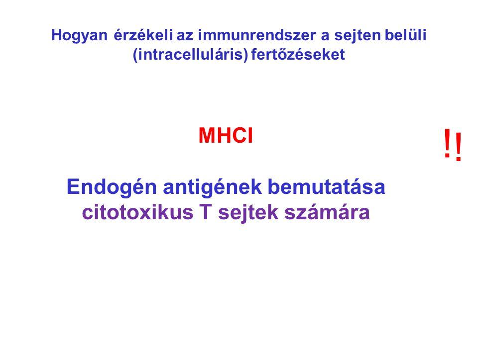 MHCI Endogén antigének bemutatása citotoxikus T sejtek számára .
