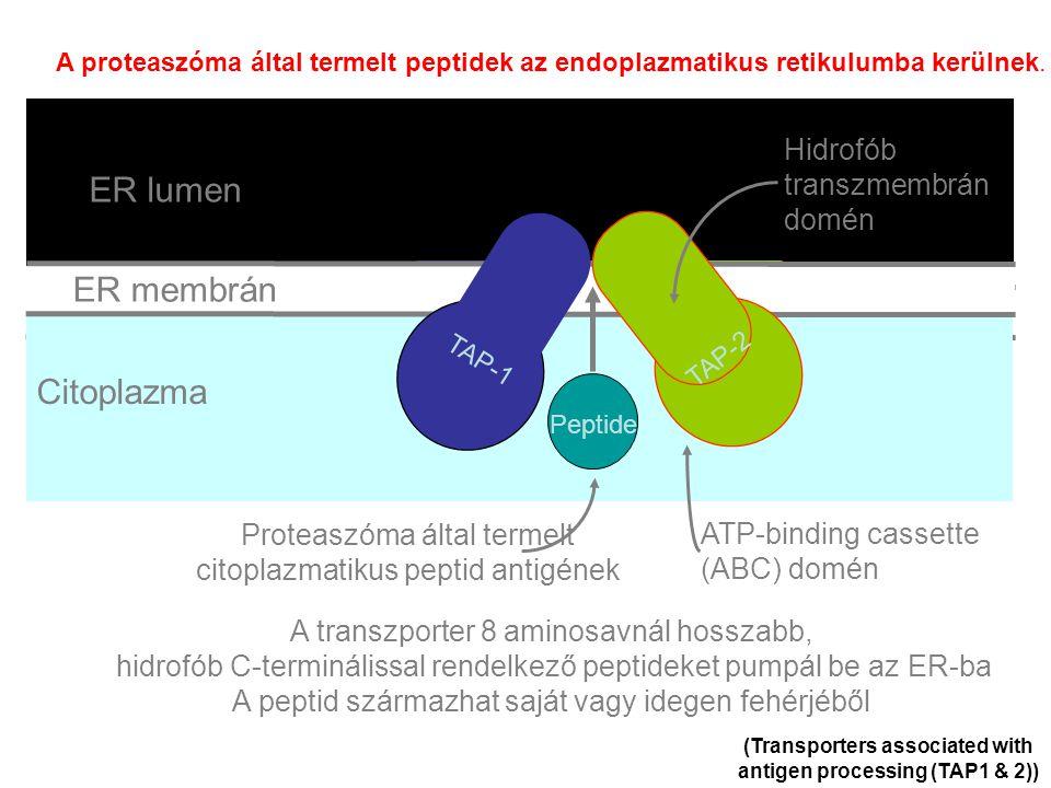ER membrane Lumen of ER Cytosol (Transporters associated with antigen processing (TAP1 & 2)) A transzporter 8 aminosavnál hosszabb, hidrofób C-terminálissal rendelkező peptideket pumpál be az ER-ba A peptid származhat saját vagy idegen fehérjéből TAP-1 TAP-2 Peptide TAP-1 TAP-2 Peptide TAP-1 TAP-2 Peptide TAP-1 TAP-2 Peptide TAP-1 TAP-2 Peptide TAP-1 TAP-2 Peptide TAP-1 TAP-2 Peptide TAP-1 TAP-2 Peptide TAP-1 TAP-2 Peptide TAP-1 TAP-2 Peptide ER membrán ER lumen Citoplazma TAP-1 TAP-2 Peptide ATP-binding cassette (ABC) domén Hidrofób transzmembrán domén Proteaszóma által termelt citoplazmatikus peptid antigének A proteaszóma által termelt peptidek az endoplazmatikus retikulumba kerülnek.