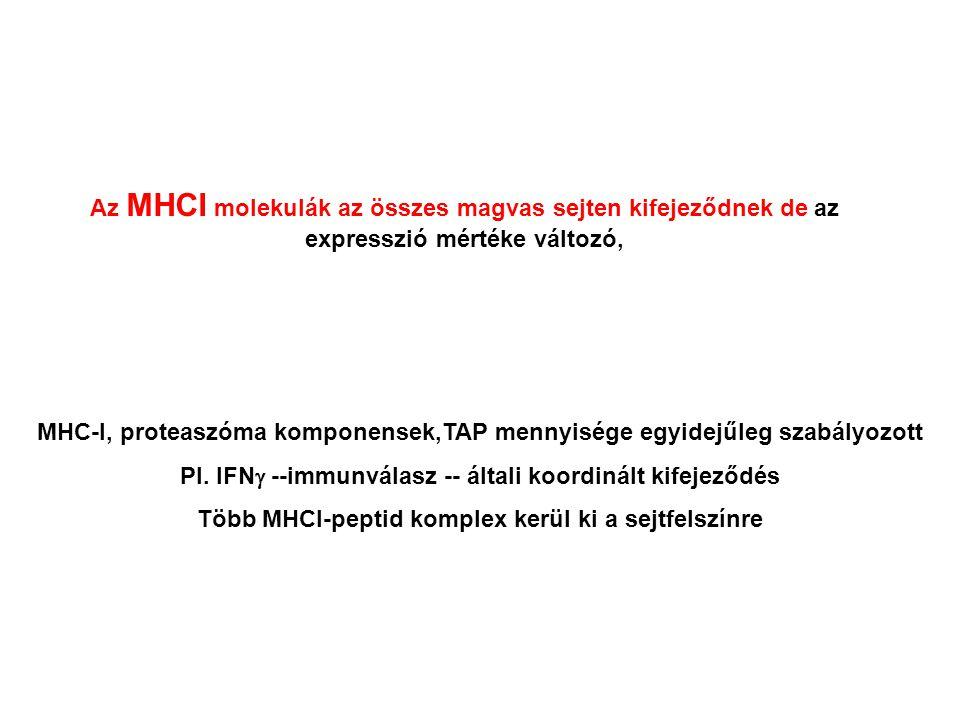 MHC-I, proteaszóma komponensek,TAP mennyisége egyidejűleg szabályozott Pl.