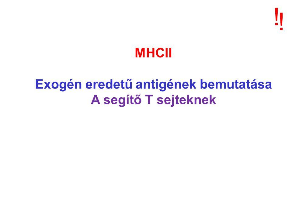 MHCII Exogén eredetű antigének bemutatása A segítő T sejteknek ! !