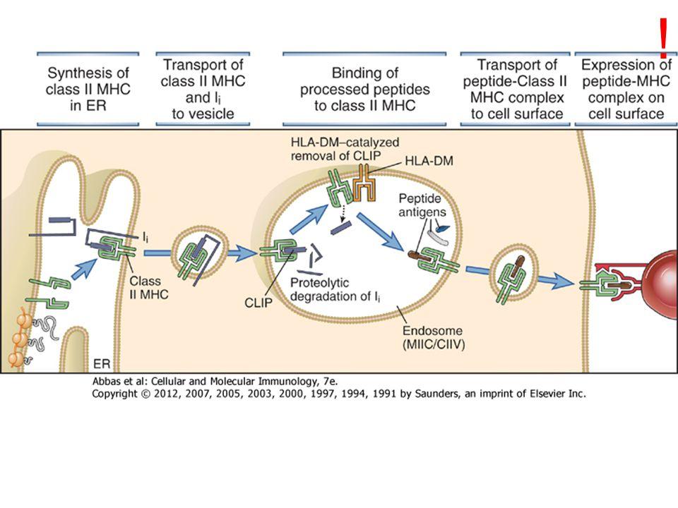 INVARIÁNS LÁNC (Ii) funkciói: 1.Chaperon – konformáció 2.Peptidkötőhely gátlása 3.Szállító/visszatartó molekula