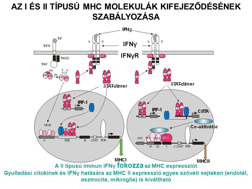 AZ I ÉS II TÍPUSÚ MHC MOLEKULÁK KIFEJEZŐDÉSÉNEK SZABÁLYOZÁSA IFNγ IFNγR A II típusú immun IFNγ fokozza az MHC expressziót Gyulladási citokinek és IFNγ hatására az MHC II expresszió egyes szöveti sejteken (endotél, asztrocita, mikroglia) is kiváltható