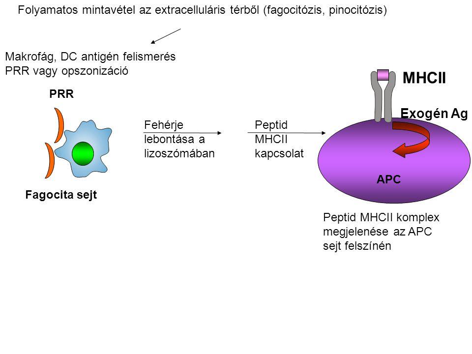 Makrofág, DC antigén felismerés PRR vagy opszonizáció Fagocita sejt PRR Fehérje lebontása a lizoszómában Peptid MHCII kapcsolat Exogén Ag MHCII Peptid MHCII komplex megjelenése az APC sejt felszínén APC Folyamatos mintavétel az extracelluláris térből (fagocitózis, pinocitózis)