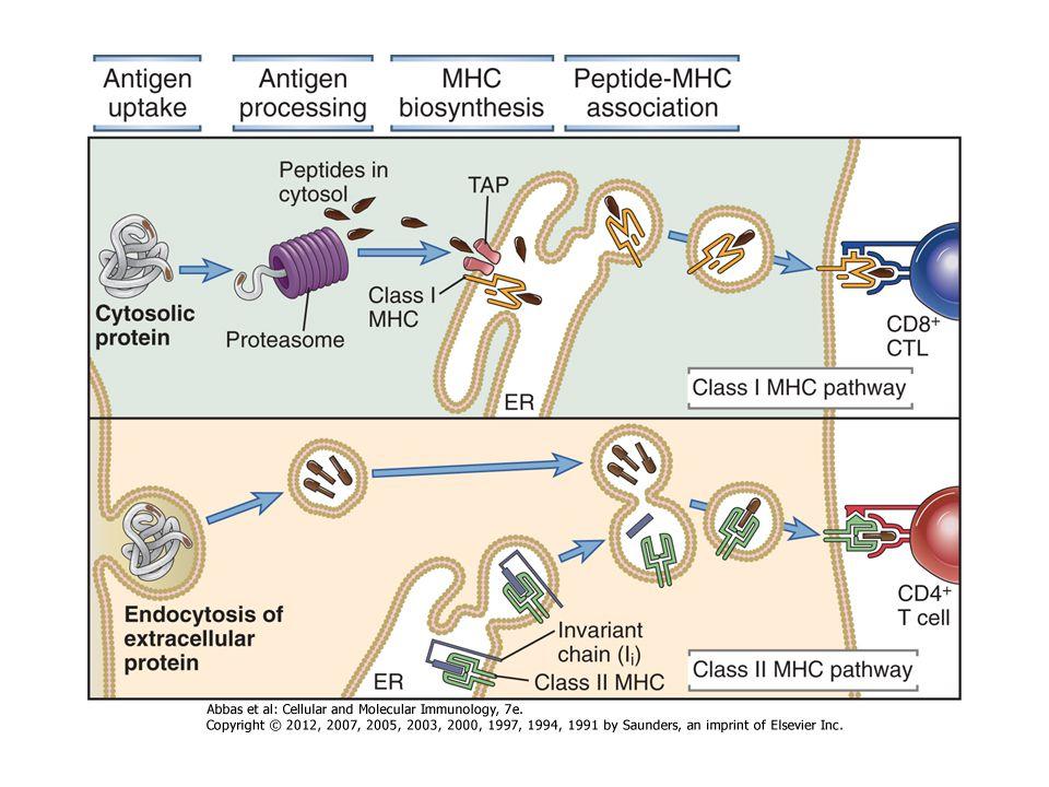 Endogén Ag AZ EXOGÉN ÉS ENDOGÉN ANTIGÉNEK FELISMERÉSE Exogén Ag Th CD8 MHCI CD4 MHCII Tc A CD8 illetve CD4 a nem polimorf α3 illetve β2 doménhez kapcsolódik .