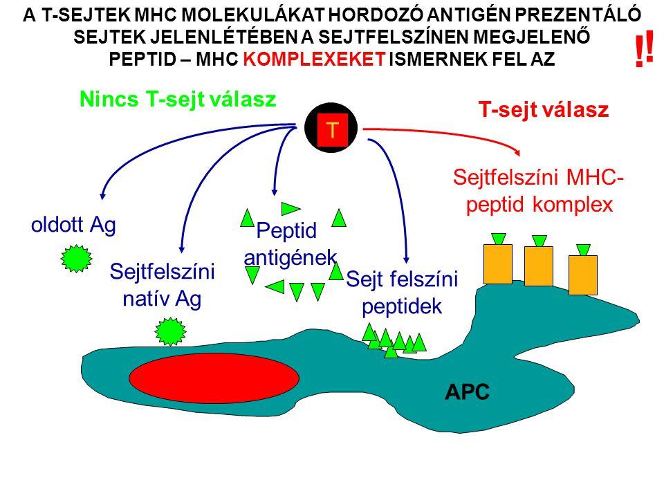 A T-SEJTEK MHC MOLEKULÁKAT HORDOZÓ ANTIGÉN PREZENTÁLÓ SEJTEK JELENLÉTÉBEN A SEJTFELSZÍNEN MEGJELENŐ PEPTID – MHC KOMPLEXEKET ISMERNEK FEL AZ T Nincs T-sejt válasz oldott Ag Sejtfelszíni natív Ag Peptid antigének Sejtfelszíni MHC- peptid komplex T-sejt válasz Sejt felszíni peptidek APC .