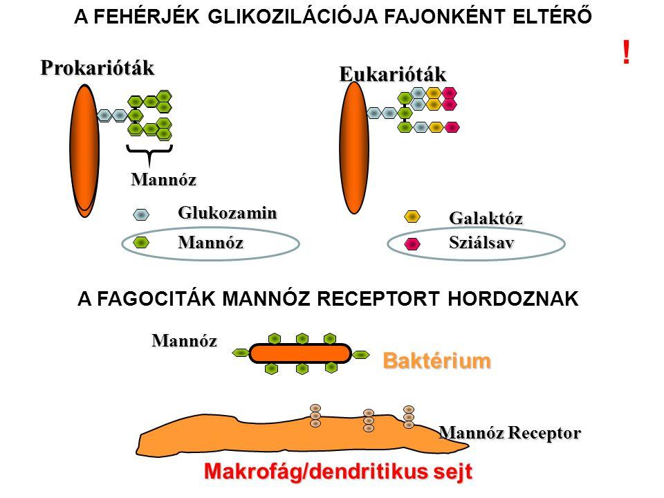 Eukarióták Glukozamin Mannóz Galaktóz Sziálsav A FEHÉRJÉK GLIKOZILÁCIÓJA FAJONKÉNT ELTÉRŐ Mannóz Prokarióták Makrofág/dendritikus sejt Mannóz Receptor Baktérium Mannóz A FAGOCITÁK MANNÓZ RECEPTORT HORDOZNAK !