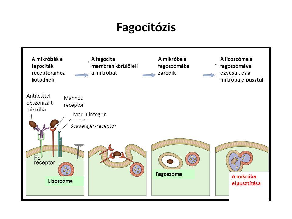 Fagocitózis A mikróbák a fagociták receptoraihoz kötődnek A fagocita membrán körülöleli a mikróbát A mikróba a fagoszómába záródik Antitesttel opszonizált mikróba Mannóz receptor Mac-1 integrin Scavenger-receptor Lizoszóma Fagoszóma A mikróba elpusztítása A lizoszóma a fagoszómával egyesül, és a mikróba elpusztul