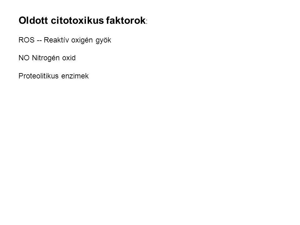Oldott citotoxikus faktorok : ROS -- Reaktív oxigén gyök NO Nitrogén oxid Proteolitikus enzimek