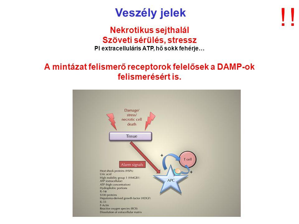 Veszély jelek Nekrotikus sejthalál Szöveti sérülés, stressz Pl extracelluláris ATP, hő sokk fehérje… A mintázat felismerő receptorok felelősek a DAMP-