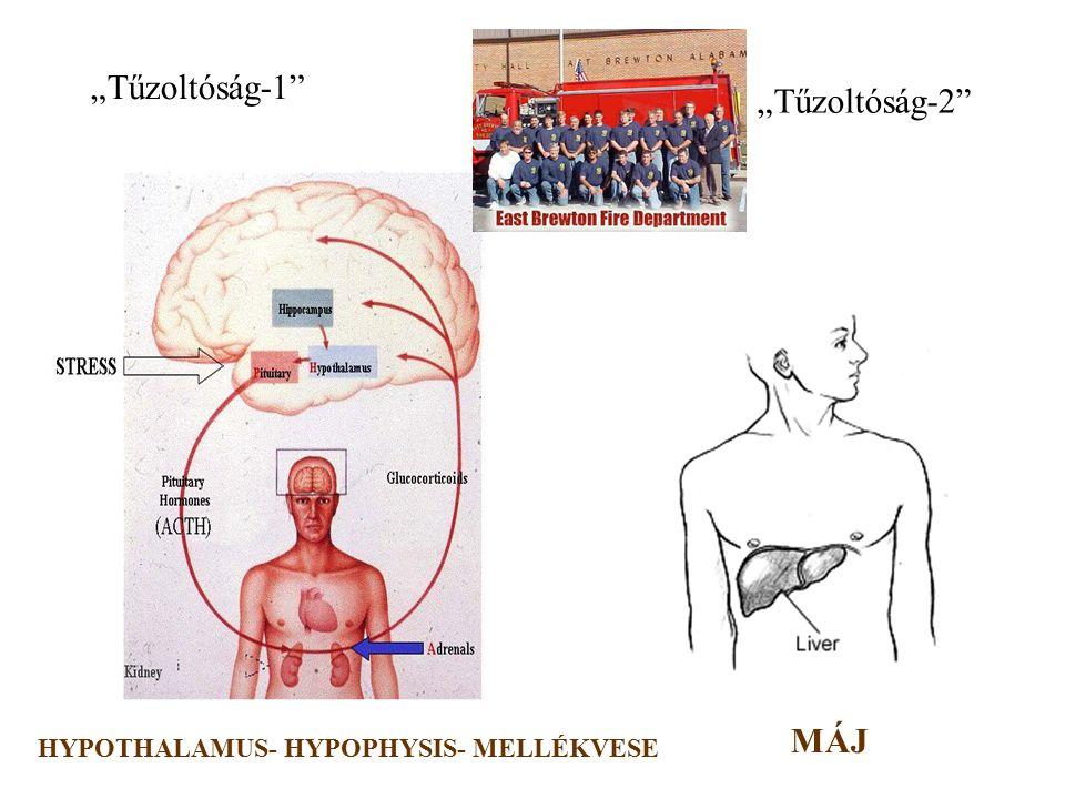 """9 """"Riasztás"""" makrofág endotel fibroblaszt keratinocita T sejt TESTSZERTE ELŐFORDULÓ SEJTEK IL-6 IL-1 TNF  IFN  *"""