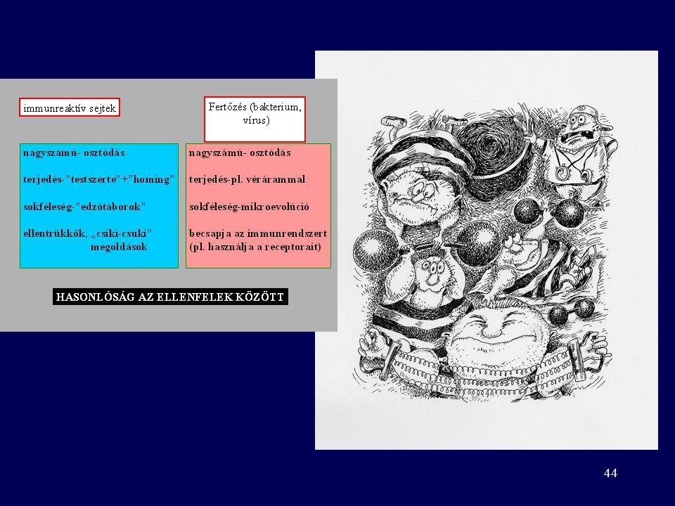 43 A fertőzés kimenetele A kórokozó eliminálódik Győz a kórokozó Krónikus gyulladás –Granuloma, fibrózis –Túlérzékenység –Autoimmun keresztreakció