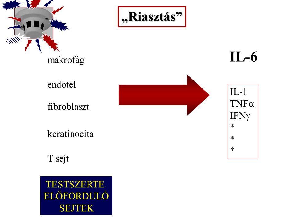 8 A korai mediátorok pleiotróp hatásai II.Szekréciós –Leukocyta: proteáz szekréció (pl.