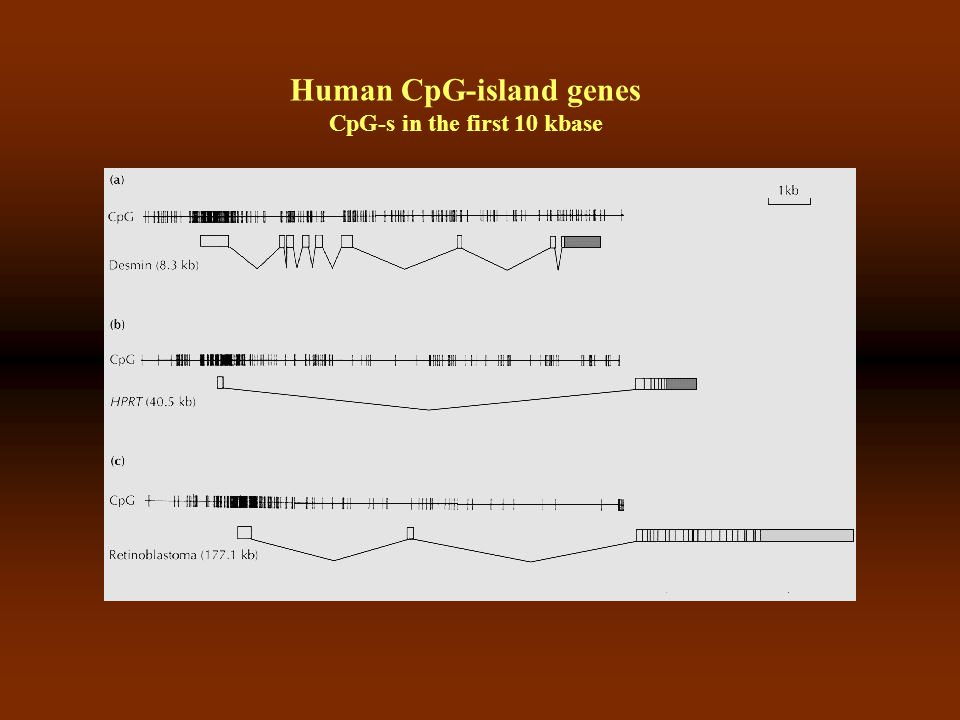 Human CpG-island genes CpG-s in the first 10 kbase