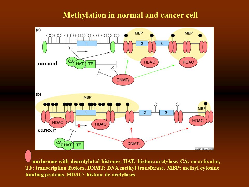 Methylation in normal and cancer cell normal cancer nuclosome with deacetylated histones, HAT: histone acetylase, CA: co-activator, TF: transcription factors, DNMT: DNA methyl transferase, MBP: methyl cytosine binding proteins, HDAC: histone de-acetylases