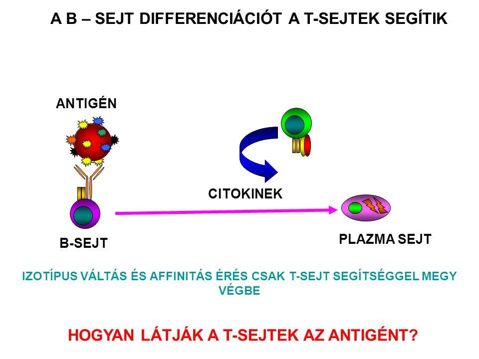 PLAZMA SEJT ANTIGÉN CITOKINEK B-SEJT A B – SEJT DIFFERENCIÁCIÓT A T-SEJTEK SEGÍTIK IZOTÍPUS VÁLTÁS ÉS AFFINITÁS ÉRÉS CSAK T-SEJT SEGÍTSÉGGEL MEGY VÉGB