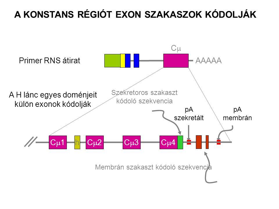 mRNS C1C1C2C2C3C3C4C4 AAAAA h Transcription Membrán IgM konstant régió C1C1C2C2C3C3C4C4 1° átirat pAm AAAAA h C1C1C2C2C3C3C4C4 DNS h A membrán kódoló szekvencia a transzmembrán régió révén biztosítja a sejtfelszíni expressziót Fc Fehérje Hasítás, poly-adeniláció pAm helyen és RNS hasítás