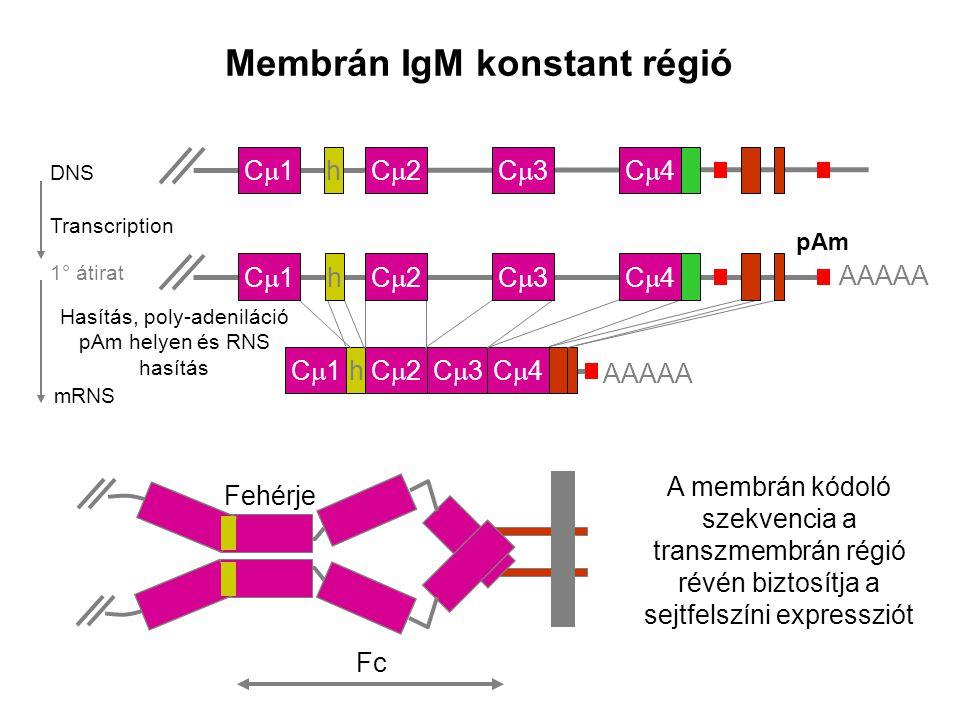 mRNA Szecernált IgM konstans régió C1C1C2C2C3C3C4C4 AAAAA h C1C1C2C2C3C3C4C4 DNS h Cleavage polyadenylation at pAs and RNA splicing 1° átirat pAs C1C1C2C2C3C3C4C4 Átírás AAAAA h A szekréciós kódoló szekvencia az oldott fehérje C-terminális szakaszának szintéziséért felelős Fc Protein