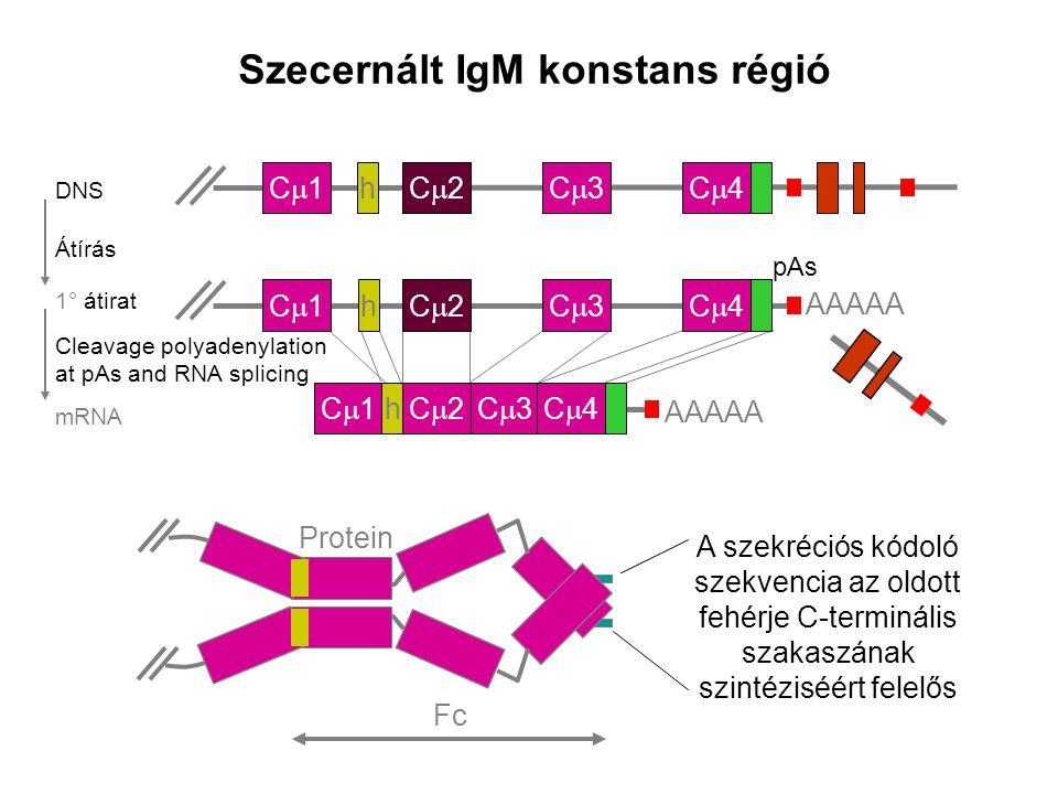 """""""Nagy találkozás a perifériás nyirokszervekben Az antigént kötő B sejtek a T-sejt területen akadnak fenn Az antigént kötő B sejtek az aktivált T- sejtekkel lépnek kapcsolatba"""