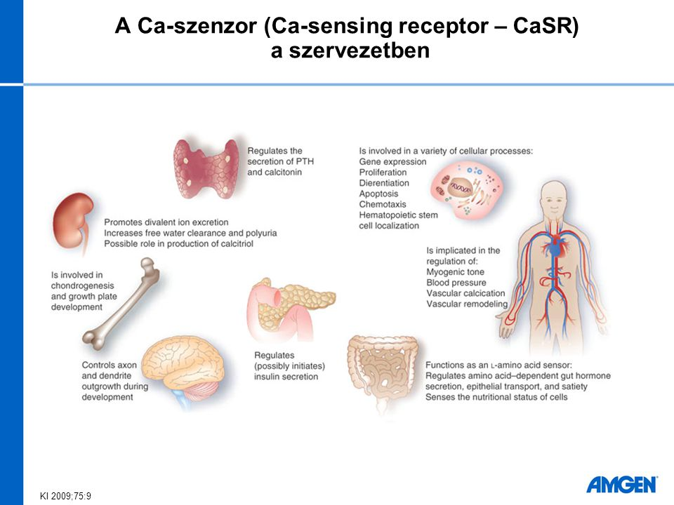 Aorta-fal kalcifikáció kialakulásának gátlása kalcimimetikum mellett uraemiás patkányokban Lopez I et al.