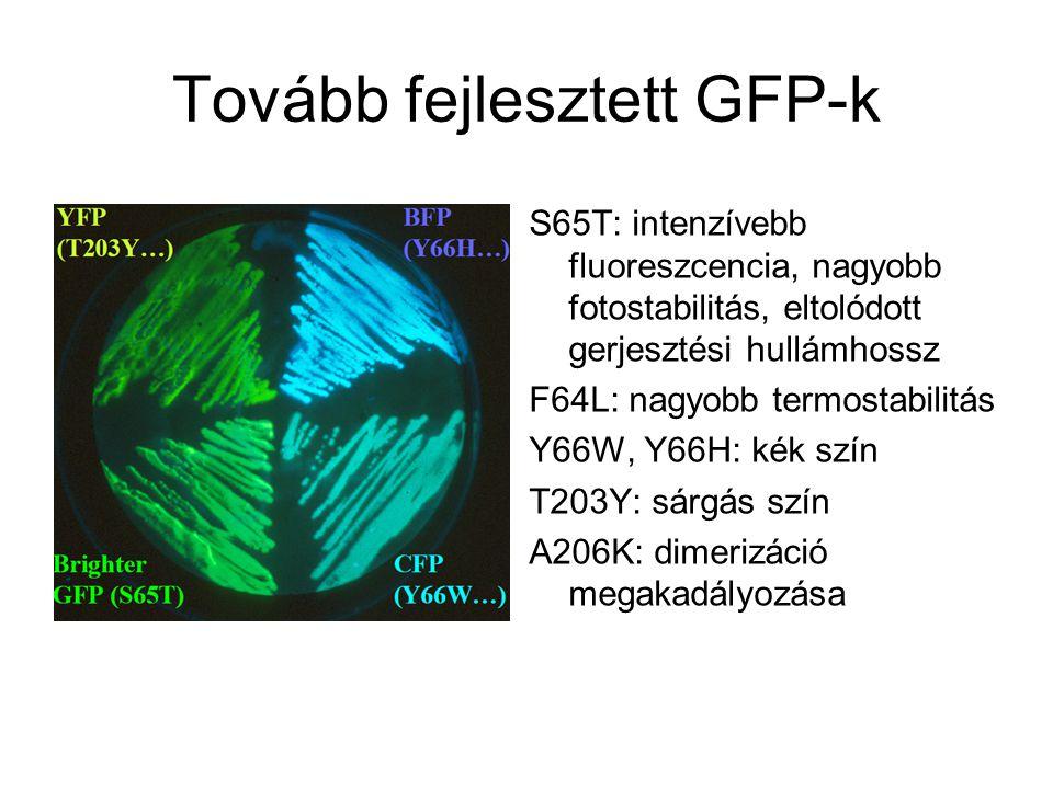 Tovább fejlesztett GFP-k S65T: intenzívebb fluoreszcencia, nagyobb fotostabilitás, eltolódott gerjesztési hullámhossz F64L: nagyobb termostabilitás Y66W, Y66H: kék szín T203Y: sárgás szín A206K: dimerizáció megakadályozása