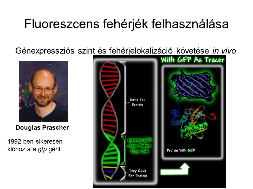 Fluoreszcens fehérjék felhasználása Génexpressziós szint és fehérjelokalizáció követése in vivo Douglas Prascher 1992-ben sikeresen klónozta a gfp gént.