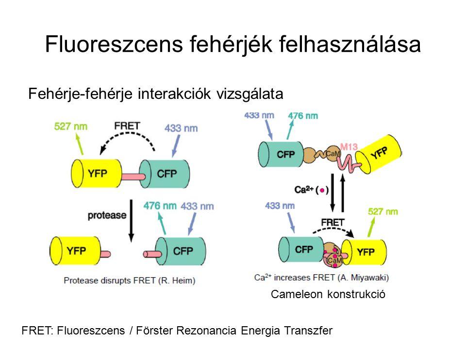 Fluoreszcens fehérjék felhasználása Fehérje-fehérje interakciók vizsgálata FRET: Fluoreszcens / Förster Rezonancia Energia Transzfer Cameleon konstrukció