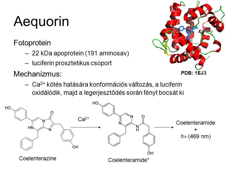 Aequorin Fotoprotein –22 kDa apoprotein (191 aminosav) –luciferin prosztetikus csoport Mechanizmus: –Ca 2+ kötés hatására konformációs változás, a luciferin oxidálódik, majd a legerjesztődés során fényt bocsát ki Coelenterazine Coelenteramide* Ca 2+ Coelenteramide + h (469 nm) PDB: 1EJ3
