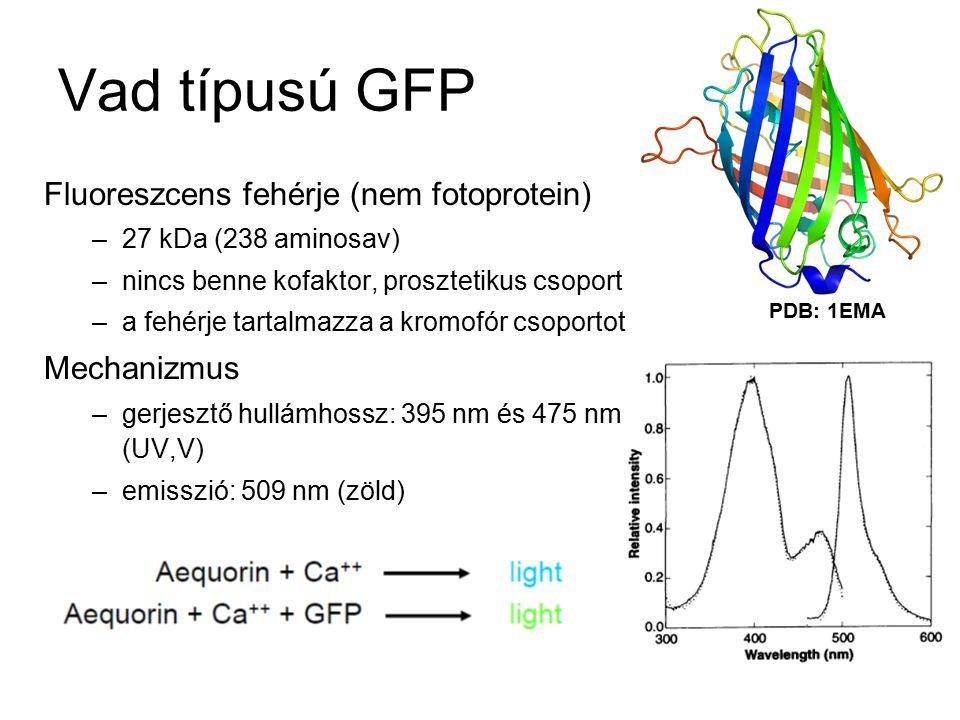 Vad típusú GFP Fluoreszcens fehérje (nem fotoprotein) –27 kDa (238 aminosav) –nincs benne kofaktor, prosztetikus csoport –a fehérje tartalmazza a kromofór csoportot Mechanizmus –gerjesztő hullámhossz: 395 nm és 475 nm (UV,V) –emisszió: 509 nm (zöld) PDB: 1EMA