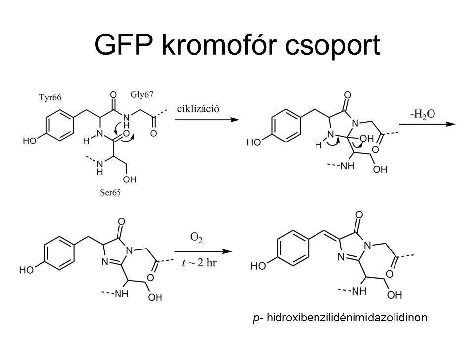 GFP kromofór csoport PDB: 1EMA 11 szálas béta-hordó szerkezet