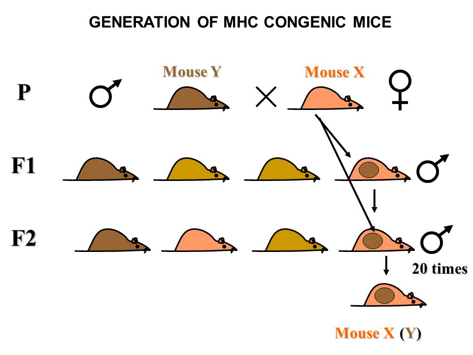 F1 P Mouse X Mouse Y F2 GENERATION OF MHC CONGENIC MICE 20 times Mouse X (Y)