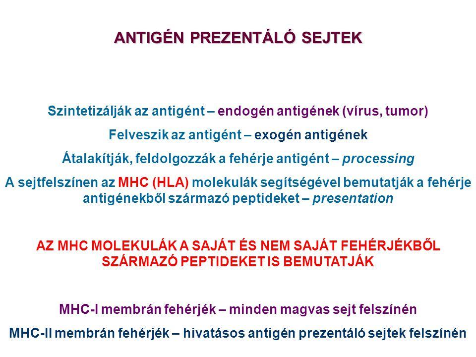 AZ ANTIGÉN PREZENTÁLÓ SEJTEK SZEREPE ANTIGÉN PREZENTÁLÓ SEJTEK Szintetizálják az antigént – endogén antigének (vírus, tumor) Felveszik az antigént – exogén antigének Átalakítják, feldolgozzák a fehérje antigént – processing A sejtfelszínen az MHC (HLA) molekulák segítségével bemutatják a fehérje antigénekből származó peptideket – presentation AZ MHC MOLEKULÁK A SAJÁT ÉS NEM SAJÁT FEHÉRJÉKBŐL SZÁRMAZÓ PEPTIDEKET IS BEMUTATJÁK MHC-I membrán fehérjék – minden magvas sejt felszínén MHC-II membrán fehérjék – hivatásos antigén prezentáló sejtek felszínén